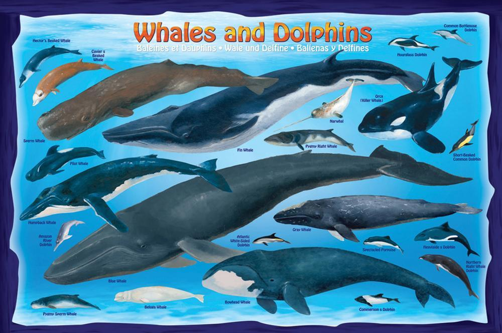 Whales and Dolphins Posters at AllPosters com